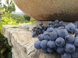 Druiven in Italië